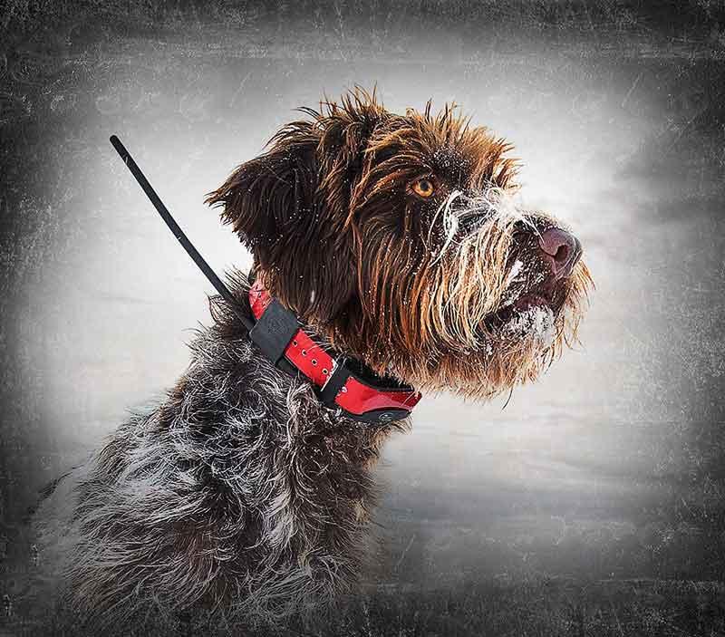 Chien sportdog